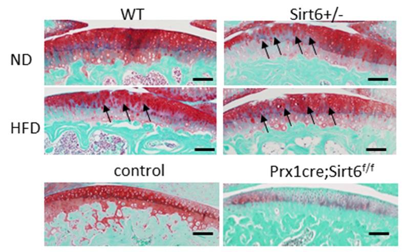 Sirt6+/-では関節表面の不整が認められる。Prx1cre;Sirt6f/fではSafranin-Oの染色性が著しく低下する。