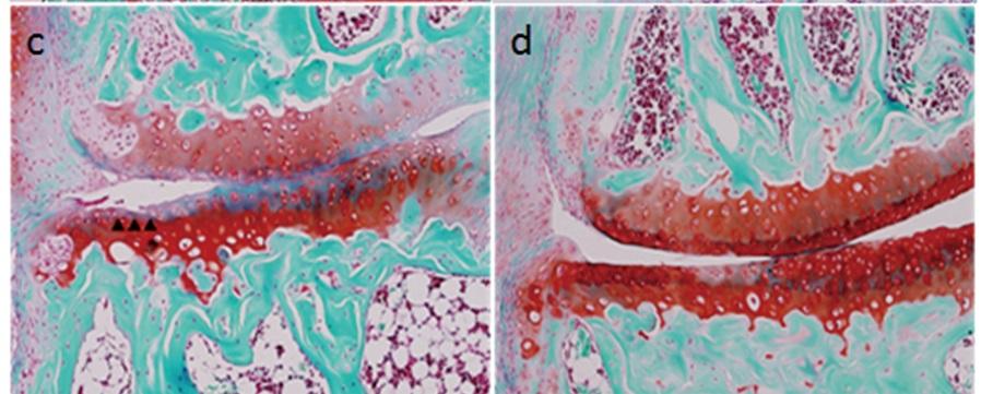 溶媒投与群(左)と比較してB3投与群(右)では関節軟骨表層の不整が予防された。